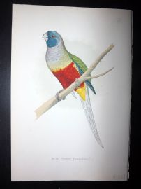 Greene Parrots in Captivity 1887 HC Bird Print. Blue Bonnet Parakeet. Australia